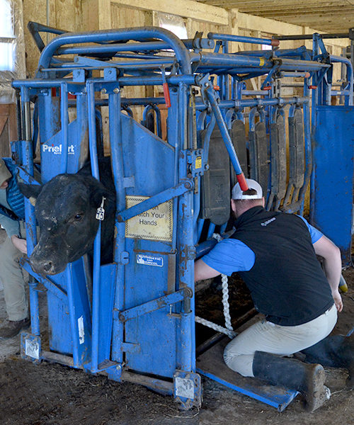 Student working with cattle as part of the Vet Medicine Program