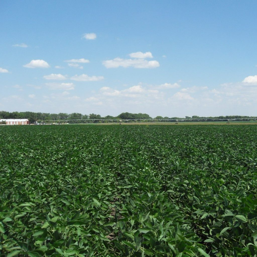 Bean row crops